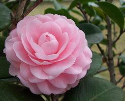 山茶花 種類 ピンク