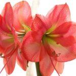 アマリリスの花言葉の英語や意味について