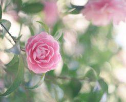 山茶花 白 品種