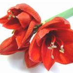 八重咲きアマリリスの育て方やコツについて