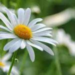 マーガレットの花や葉の特徴について