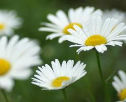 マーガレット 値段 花