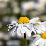 マーガレットの花が咲かない原因とは?