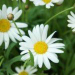 マーガレットの育て方。枯れた花はどうすればいいの!?