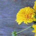 菊の花の平均の値段はいくら!?