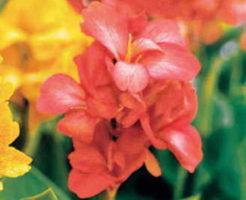 カンナ 花 オレンジ