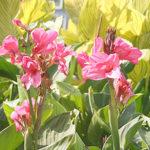 植物のカンナにはどんな種類があるの?色は?
