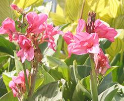 植物 カンナ 種類