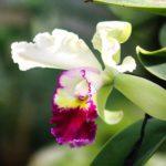 カトレアの新芽が枯れる原因と対処方法とは?