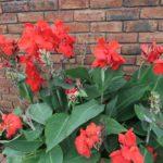 カンナの花が咲く時期はいつ頃の季節?
