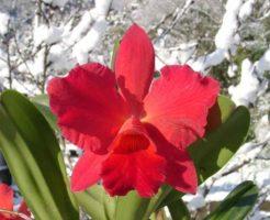 カトレア 花言葉 誕生日