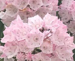 カルミア 鉢植え 販売