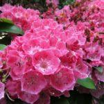 カルミアの開花時期はいつ頃?見頃の季節は?
