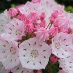 母の日にカルミアの鉢植えをプレゼントする意味とは?