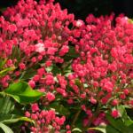 カルミアの花には毒がある?成分や食中毒時の症状とは?