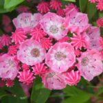 カルミアの花には何色がある?種類を一覧で見てみよう!