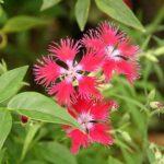 カワラナデシコの花言葉の意味や由来とは?