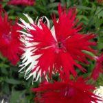 カワラナデシコの花の色にはどんな種類がある?