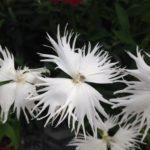 カワラナデシコの苗の植え付け方法や育て方・手入れ方法とは?
