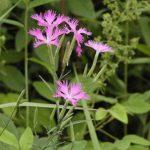 カワラナデシコの花や葉っぱの特徴とは?