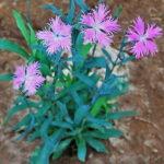 カワラナデシコの種まき時期はいつ頃の季節が最適?